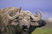 Cape Buffalo with Redbilled Oxpeckers  Lake Nakuru NP Kenya ; Ruminate