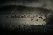 Red Crowned Crane colony in the fog Japan