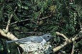 Echenilleur au nid et couvant ses oeufs Madagascar