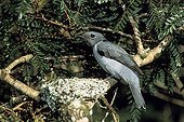 Echenilleur malgache au nid Madagascar