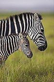 Femelle et jeune Zèbre de plaine  Amboseli Kenya