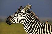 Burchell's zebra with redbilled oxpeckers Amboseli NP Kenya