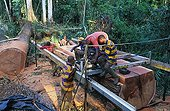 Logging of a moabi in the forest of Eschiembot Cameroun