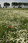 Field of Matricaires camomile in spring Netherlands   ; Place: Island of Tiengemeten