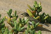 Willow warbler in the lagoon of Naila Morocco