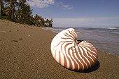Coquille de Nautile sur une plage Nouvelle-Calédonie