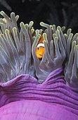 Clown anemonefish in its Sea anemone Thailand