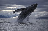 Humpback whale breaching Alaska USA