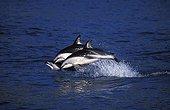 Dusky dolphin New Zealand
