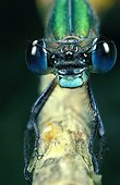 Face to face with Green emerald damselfly on a branch France