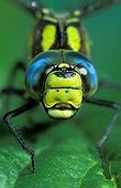 Face to face with Azure hawker posed on leaf France