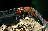Ruddy darter posed on a stock France