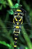 Male Golden-ringet dragonfly posed seen top