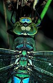 Head and thorax of male Emperor dragonfly sight of top