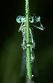 White-legged damselfly covered of dew is cleaning his eyes