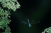 White-legged damselfly in flight