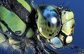 Detail head and thorax side view of Emperor Dragonfly Europe