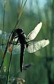 Scarce Chaser covered with dew on a stem France