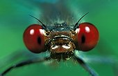 Portrait of Red-eyed Damselfly France
