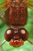 Large plan of head and thorax of a Red darter