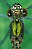 Large plan of head and thorax of Beautiful demoiselle male