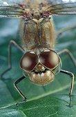 Gros plan tête et thorax du Sympetrum strié ; Reportage : la belle est la bête