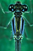 Large plan head and thorax of Blue-tailed damselfly
