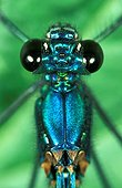 Large plan head and thorax of Beautiful demoiselle male