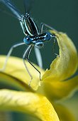 White-legged damselfly posed on a yellow flower France