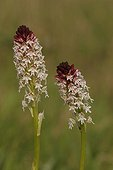 Deux inflorescences d'Orchis brûlé