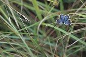 Azuré des coronilles posé sur de l'herbe Vallée du Doubs