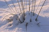Tuft of Purple Moorgrass in the snow Netherlands