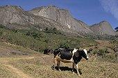 Vaches dans les terrasses et falaises Espirito Santo Brésil