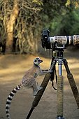 Ring-tailed lemur climbing on the tripod of a camera