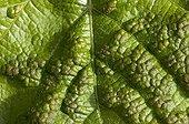 Oïdium sur une feuille de vigne