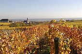 Vineyard of Alsace Saint-Hippolyte in autumn France 68