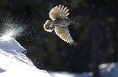 Spotted Nutcracker flying away from snow Queyras France