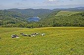 Lac de la Lande and Vosgienne Cows Hautes Vosges France