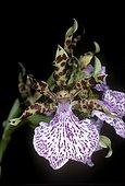 Fleur d'Orchidée Zygopetalum en studio