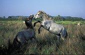 Fighting Camarguais horses Camargue France