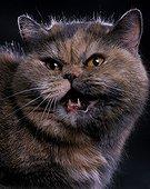 Portrait de chat adulte Exotic shorthair miaulant Studio