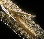 Système respiratoire du Criquet migrateur ; système respiratoire. trachée. stigmate (morphologie animale)