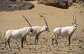 Group of Arabian oryx in the desert Saudi Arabia