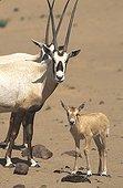 Arabian oryx and a young in the desert Saudi Arabia