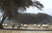 Group of Arabian oryx in the Negev desert Israel