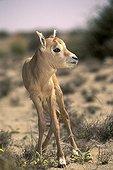 Young Arabian oryx Saudi Arabia