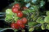 Fruits de Vaccinium Hawaï ; Lieu : Big Islande - Kilauea.