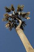Makalani Palm tree Namibia