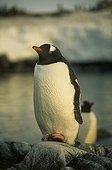 Gentoo penguin posed on a rock Antarctic Peninsula
