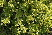 Green and yellow Lady's mantles Lautaret alpine Garden